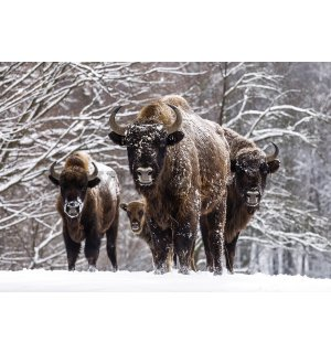 Wall Mural: Bisons - 184x254 cm