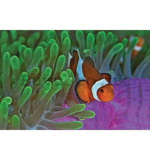 Poster - Ocellaris clownfish and Anemone