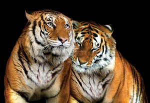 Wall Mural: Two Tigers - 184x254 cm
