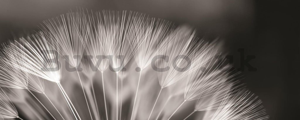 Wall Mural: Black and white dandelion - 104x250 cm