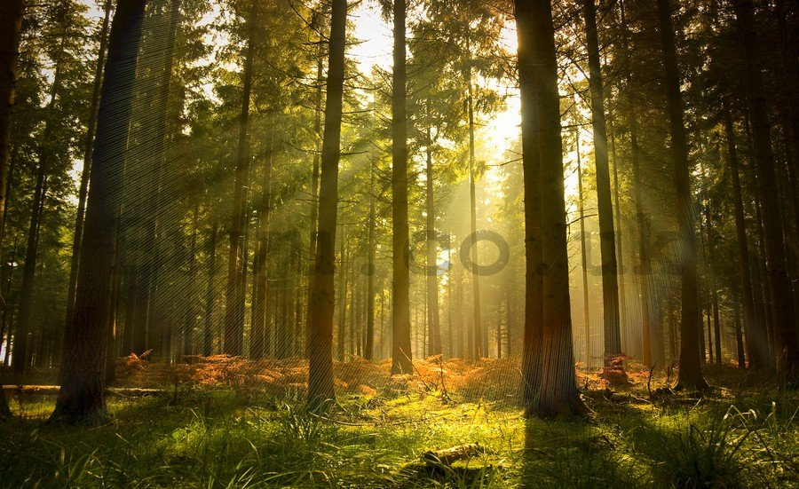 Wall mural vlies: Forest sunrise - 254x368 cm
