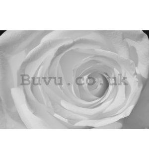 Wall Mural: White rose (detail) - 184x254 cm