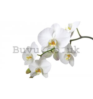 Wall Mural: White orchid - 184x254 cm