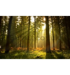 Wall mural: Forest sunrise - 254x368 cm