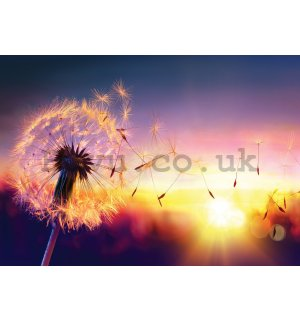 Wall mural vlies: Colorful dandelion - 416x254 cm