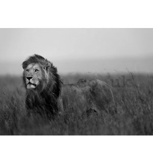Wall mural vlies: The Lion (black and white) - 104x70,5 cm