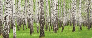 Wall Mural: Birch trees (1) - 104x250 cm