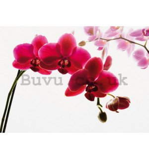 Wall Mural: Red orchid - 232x315 cm